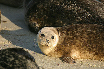 Fine Art Greeting Card Of A Young California Harbour Seal