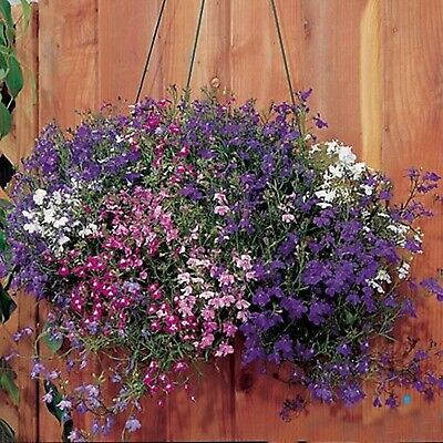 Flower Seeds Trailing Mix (Lobelia pendula) Annual For Hanging Baskets
