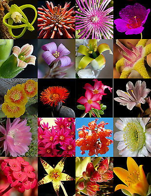 FLOWERING SUCCULENT MIX rare plant exotic cactus flower succulents seed 30 seeds