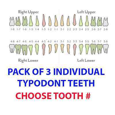 Ivorine Teeth For Typodont 860 - 3 Pack Compatible With Columbia Typodonts