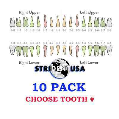 Ivorine Teeth For Typodont 860 - 10 Pack Compatible With Columbia Typodonts