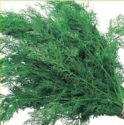 Rare Seeds Dill Gribovsky Organic Russian Heirloom Herb Variety