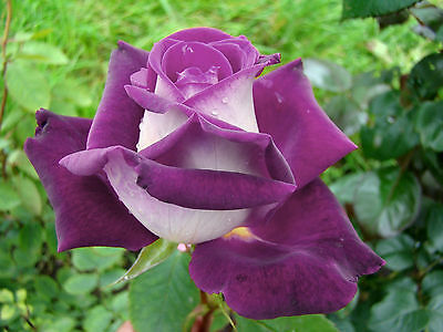 Rare Purple White Rose Flower Seeds Garden Plant, 25% Discount Buy 2 Or More