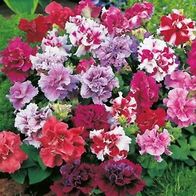 Flower Seeds Double Petunia Duo Mix F1 Petunia x hybrida Annual