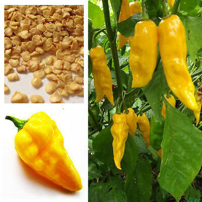Hot Chilli Habanero Devils Tongue Yellow chilli seeds, Buy 2 Get 25% Discount