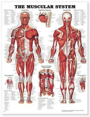 Muscular System by Anatomical Chart Company (English) Hardcover Book Free Shippi
