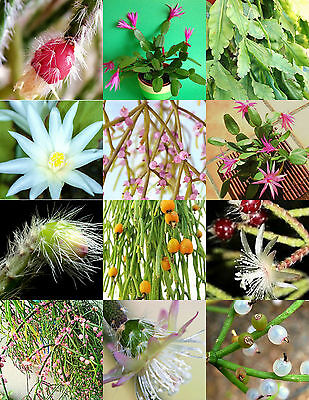 RHIPSALIS MIX rare night blooming plant exotic cactus flower succulents 20 seeds