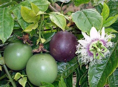 Passionfruit - Black (passiflora edulis) 10 Reliable Viable Seeds