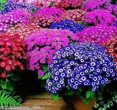 100 Senecio Cruentus Seeds Cineraria Pericallis Dwarf Mix Color Flower Perennial