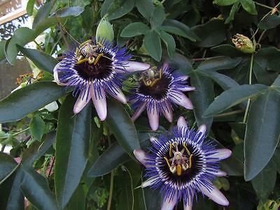 Passiflora caerulea Silly Cow - Passion Flower Plant in 9cm Pot