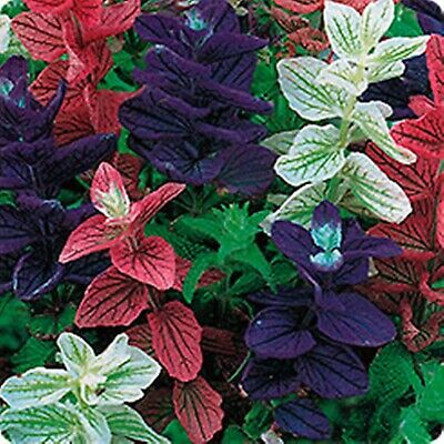 Flower Seeds Annual Clary Tricolor Mix (Salvia horminum) Annual