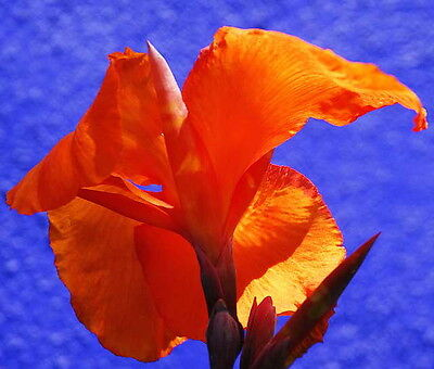 Canna Lily -  Dark Orange (canna x generalis) 5 Reliable Viable Seeds