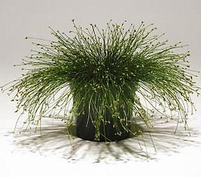 Ornamental Grass Seed - Isolepis Live Wire Msp Seeds