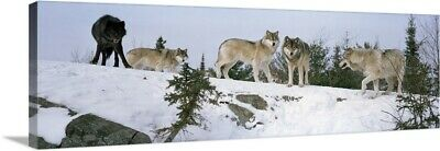 Solid-Faced Canvas Print Wall Art entitled Gray wolves (Canis lupus) in a