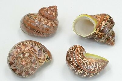 "4 Pcs Polished Petholatus Jade Turbo Sea Shell Hermit Crab 2"" - 2 1/2"" #7771"