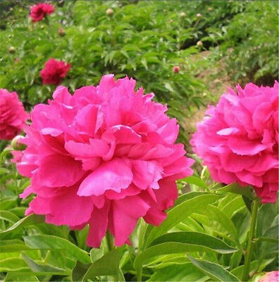 FD1582 Herbaceous Peony Seed Paeonia Lactiflora Garden Flower ~1 Pack 6 Seeds ✿