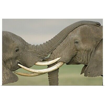 Poster Print Wall Art entitled Two African elephants fighting in a field,