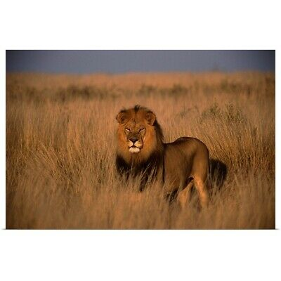 Poster Print Wall Art entitled Lion (Panthera leo), adult male, standing on