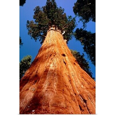 Poster Print Wall Art entitled Giant Sequoia 'General Sherman'
