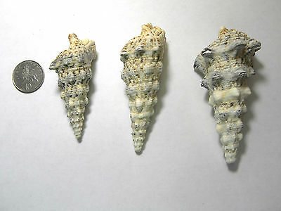 Knobbly Cerith Spiral Shells Seashells Crafts Shellwork Choice of Size 6-10cm