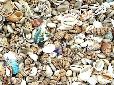 50 Random Mix Small & Medium Shells Money Cowrie & Spiral Mixed MORE IN MY SHOP