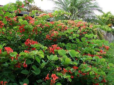 Red Orchid Tree (Bauhinia galpinii)  10 Fresh Seeds