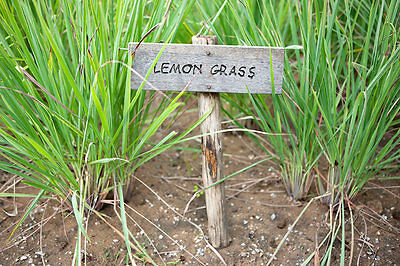 Citronella – Lemon Grass, 25 Semi