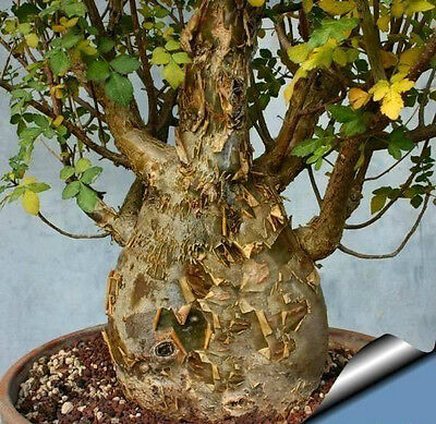 BURSERA FAGAROIDES Pianta di incenso 30-40cm!