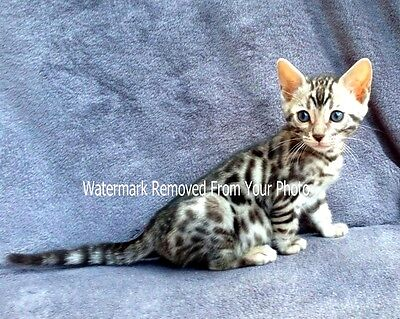 #09 Bengal Cat and Kitten pictures and photos: Premium 8 x 10 photo Print
