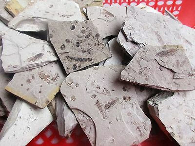 50pcs  Million Chinese Best insecta Fossil Original Specimen /Free shipping