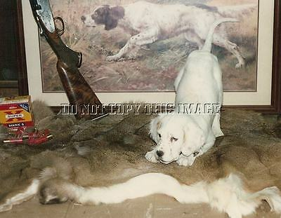 Reprinted Hunting 8 X 10 Photo Orange Belton English Setter Puppy