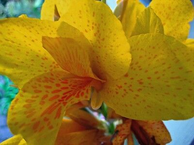 Canna Lily – Mix Colours (canna indica) 6 Reliable Viable Seeds
