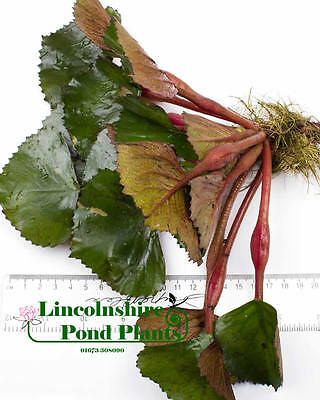 1 - 5  / Oxygenating Pond Water Plants - Water Chestnut - Floating