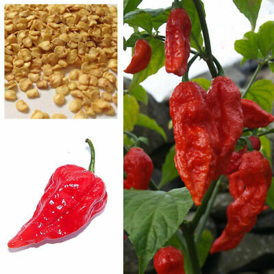 Hot Chilli Pepper, Red Bhut Jolokia, Ghost Chilli Seeds, Buy 2 Get 15% Discount