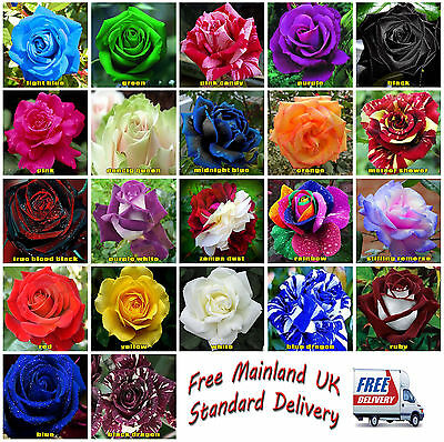 50x Rose Flower Seeds Garden Plant, Black, Blue, Rainbow, Pink Buy 2 Get 1 Free