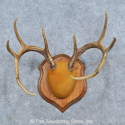 #15320 N+ | Whitetail Deer Antler Plaque Taxidermy Mount For Sale