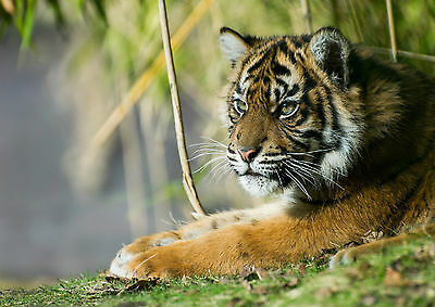 A0 A1 A2 A3 A4 Sizes Tiger fantasy Art Large Poster Print