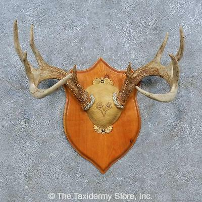 #15352 E | Whitetail Deer Antler Plaque Taxidermy Mount For Sale