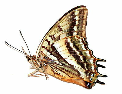 Insect Butterfly Moth Nymphalidae Charaxes alticola-Rare Female No.3