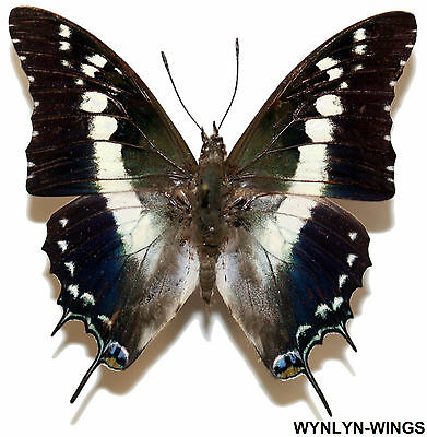 Insect Butterfly Moth Nymphalidae Charaxes achaemenes monticola-Male No. 1