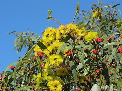 Red Capped Gum (Eucalyptus erythrocorys) 50 Fresh Seeds