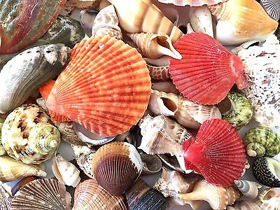 SHELLS ASSORTED 500 Gr  For Craft Project, Wedding,Home, Aquarium Decoration