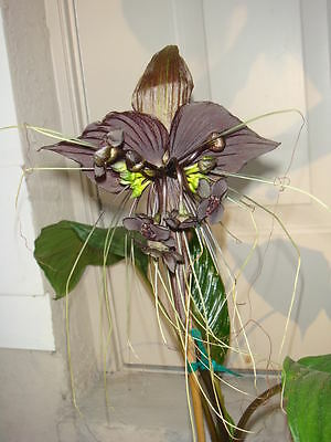 Black Bat Flower Plant (tacca chantrieri) - 15 Reliable and Viable Seeds