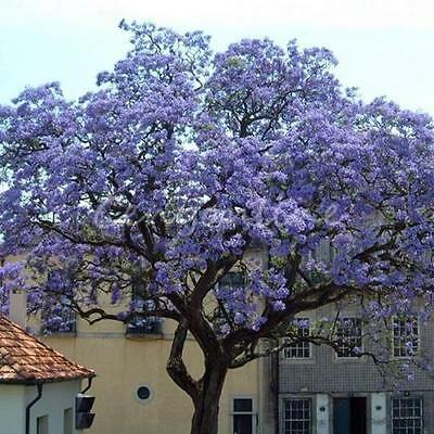 100Pcs Worlds Fastest Growing Tree Princess Paulownia Tomentosa Seeds For Garden