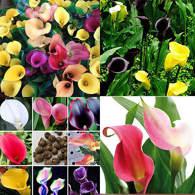 Bonsai Colorful Calla Lily Seeds Rare Plants Flowers 100pcs New EY007
