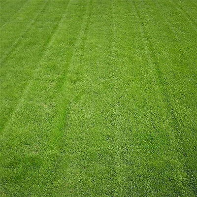 Tall Fescue Green Grass Seed Festuca Arundinacea Lawn Field Turf Seeds 10000Pcs
