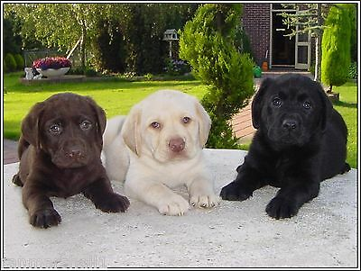 4Pack Puppy Dog Labrador Retriever Dogs Puppies Greeting Notecards / Envelopes 9