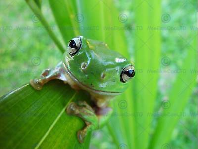 Nature Animal Amphibian Frog Leaf Green Poster Art Print Home Picture Bb1278B