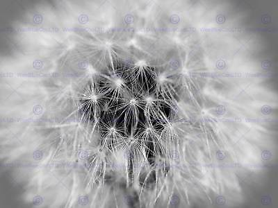 PHOTOGRAPHY COMPOSITION DANDELION FLOWER SEEDS WISH ART PRINT POSTER MP3371B