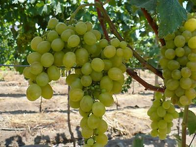 Vitis vinifera Italia - Grape Vine, White, Grafted Plant in 9cm Pot on Cane
